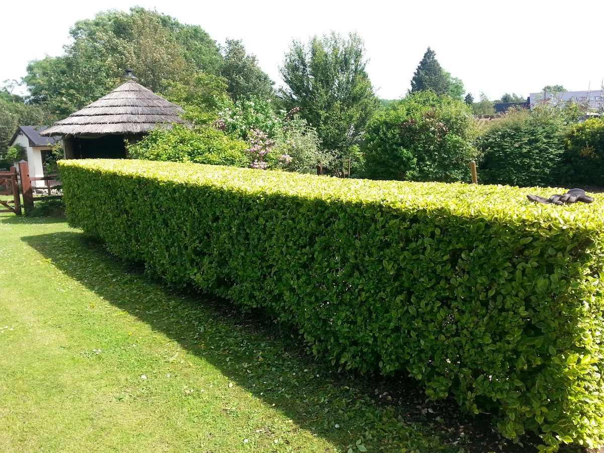 Ako udržiavať živý plot