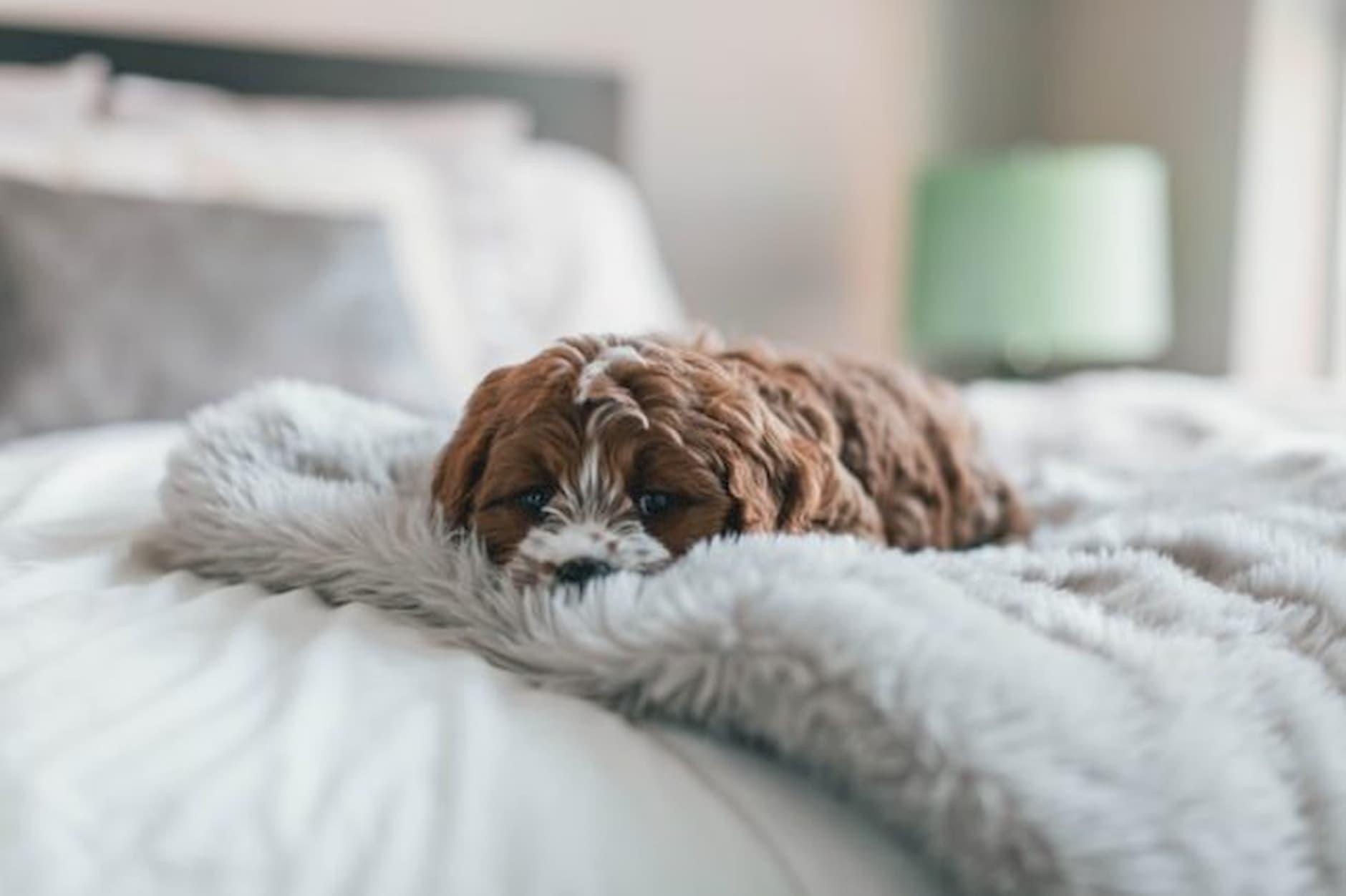 pes_kožušina_posteľ_pes_v_domácnosti