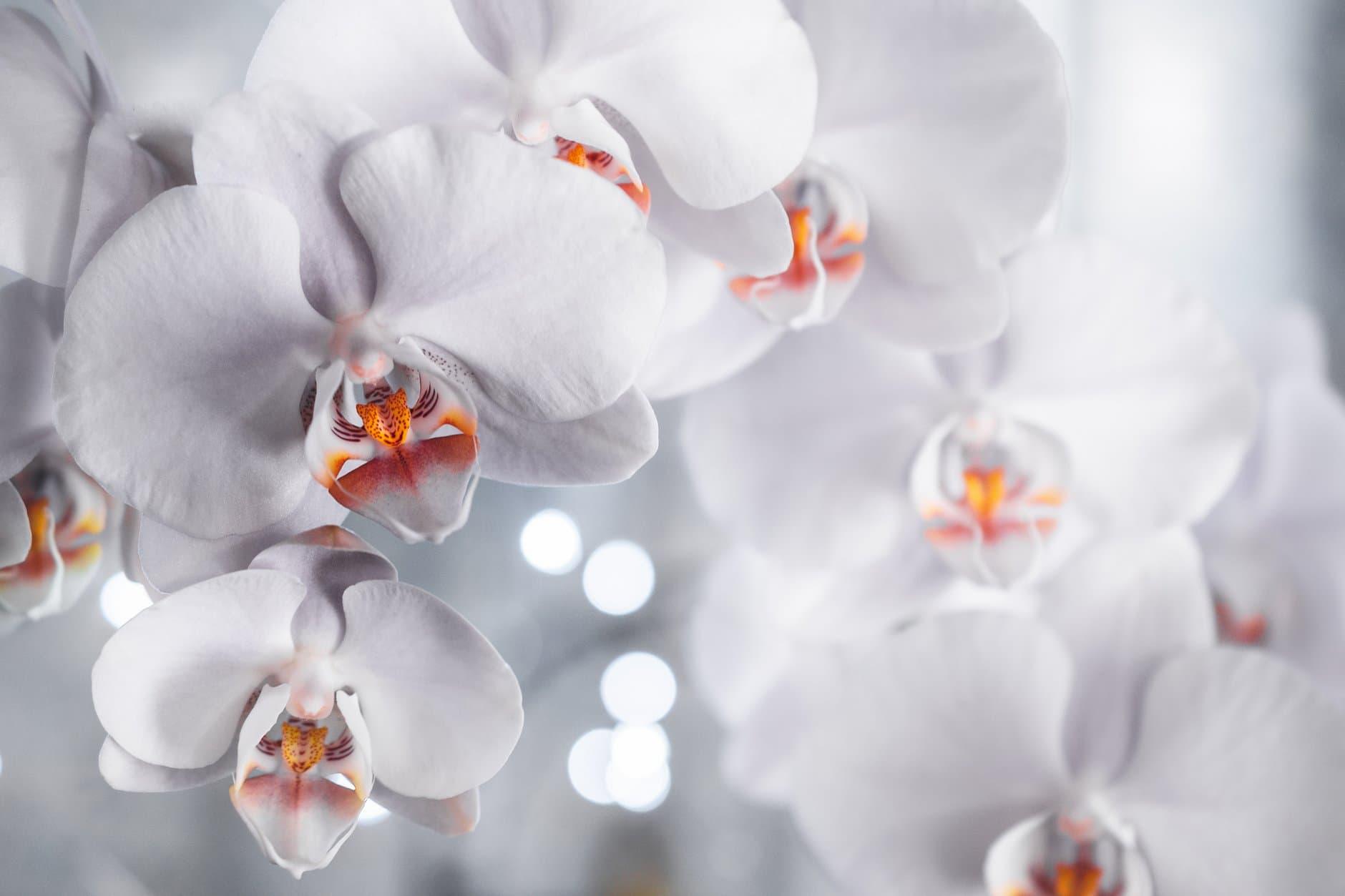 orchidea s bielymi kvetmi