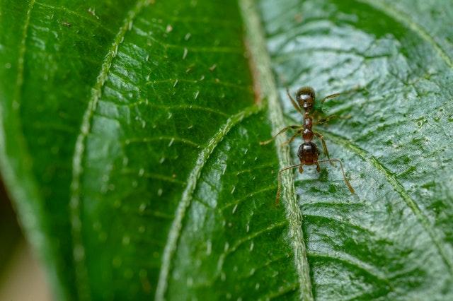 mravec na liste
